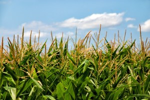 Biotecnologia verda, transformant l'agricultura