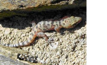 Dragó rosat (Hemidactylus turcicus)