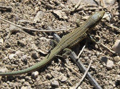 lizard-1643553__340
