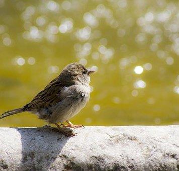 sparrow-2268898__340