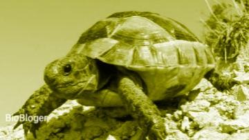 Описание средиземноморской черепахи