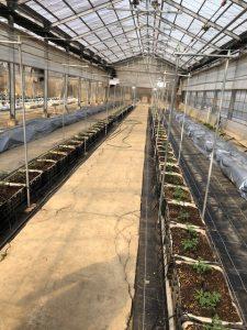BSK菌たい肥のトマト栽培