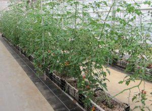 BSK菌トマト実験