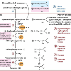 Stages Of Glycolysis And Fermentation Diagram Trailer Wiring 6 Pin Cycle Simple 10 Steps