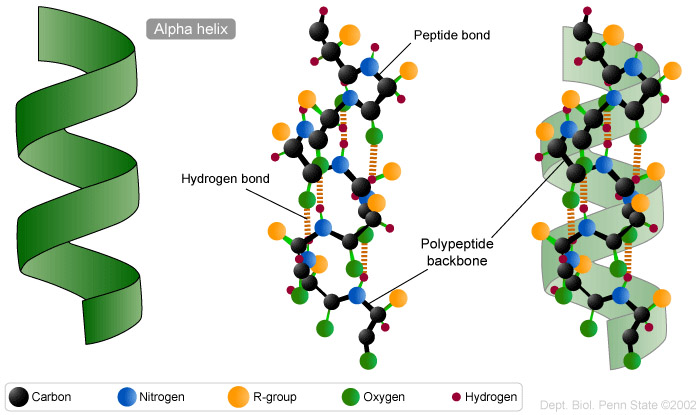 peptide structure diagram simple opel corsa b radio wiring can't get enough amino acids and proteins!!! –part 2 | biochemistry 4 life!!