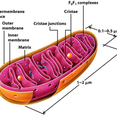 Mitochondrion Structure Diagram Heating And Air Conditioning Wiring Diagrams Atp Biochemist01