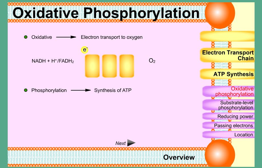 Ending On A High Note Oxidative Phosphorylation Animation