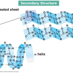 Peptide Structure Diagram Simple 2005 Softail Deluxe Wiring Proteins And Amino Acids Molecules Of Lifewhat Part 2