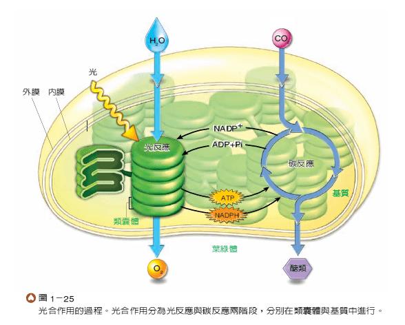 1-4細胞 與能量 - 子安的生物科共備區