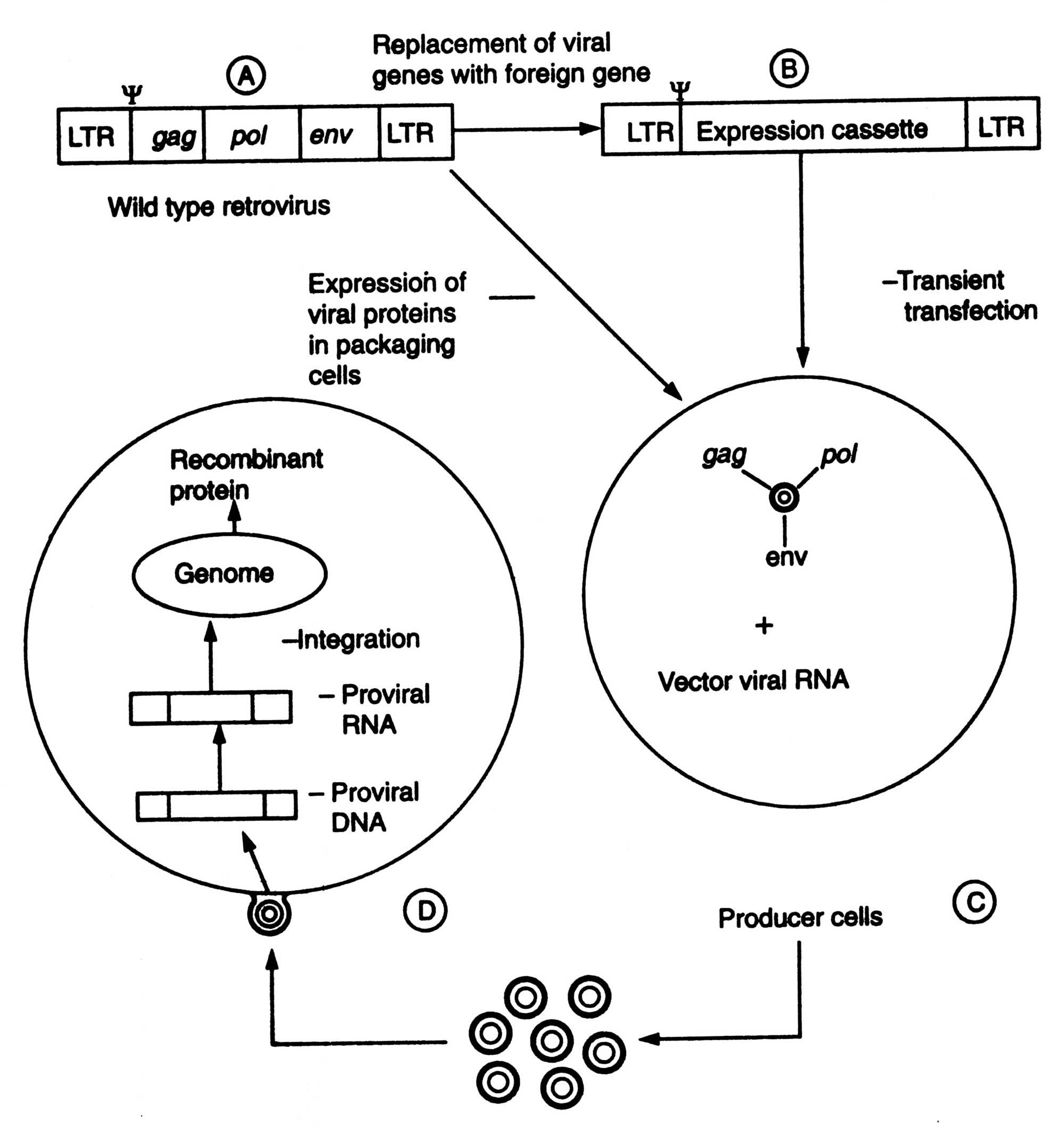 Methods Of Gene Transfer