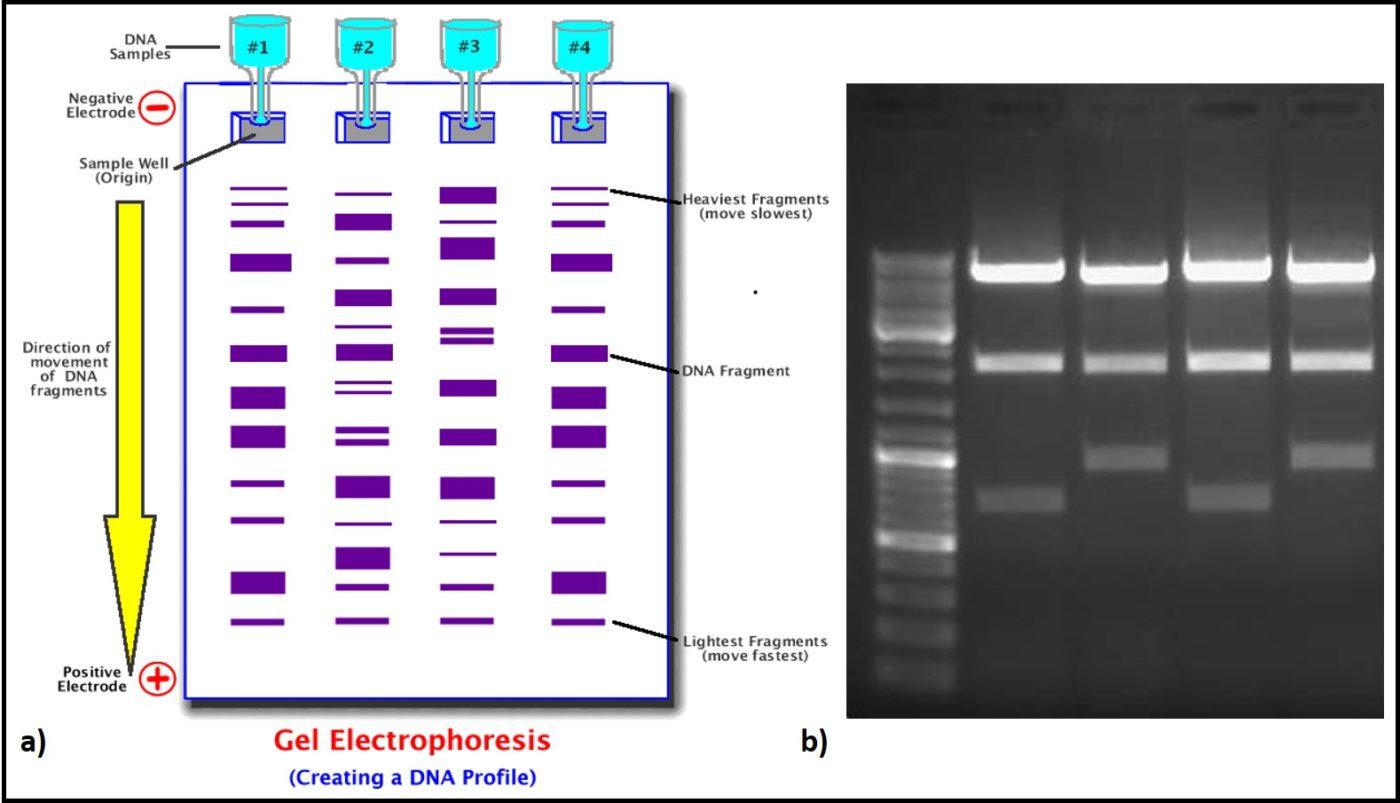 dna fingerprinting diagram lewis dot for elements fuel microbiology archives biodeterioration control