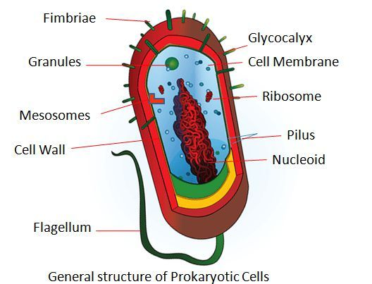 microbiology prokaryotic cell diagram labeled hot tub spa wiring difference between cells and eukaryotic with generalized structure of consists the following