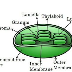 Mitochondrion Structure Diagram Pioneer Deh P4100ub Wiring Difference Between Mitochondria And Chloroplast With Comparison Choroplast Img