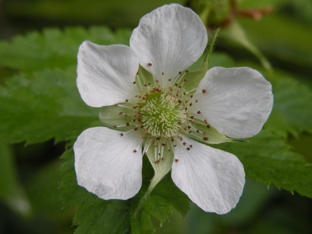 Flor de la Fresa de la Montaña