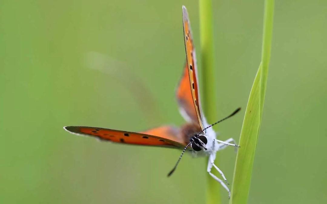 Cuivré des marais - Lycaena dispar mâle