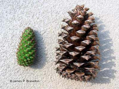 Gymnosperms biodiversitybasics