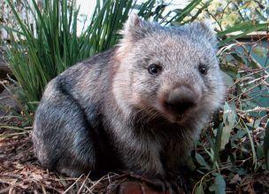 The common wambat (Power, 2016)