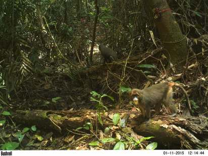 A troop of De Brazza's monkeys travel by a BI camera trap in Oyala, Equatorial Guinea in January 2016 (Photo by BI, Bushnell field cameras).