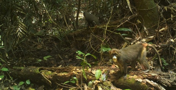 DeBrazza's monkeys in a camera trap image from Rio Campo, Equatorial Guinea