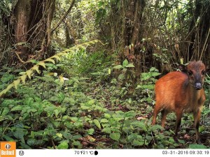 An Ogilby's Duiker captured on a BI camera inside the Caldera Luba, Equatorial Guinea, February 2016 (Photo by BI, Bushnell field cameras).