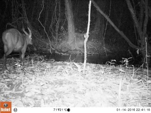 BI camera traps detect a large ungulate crossing a river within primary forest in Oyala, Equatorial Guinea in January 2016 (Photo by BI, Bushnell field cameras).
