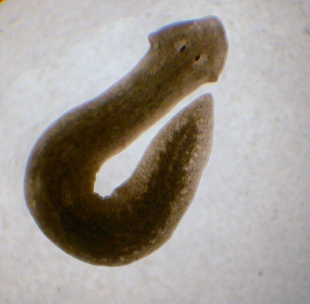 Phylum Platyhelminthes  An Overview of Biodiversity