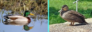 two photos showing a introduced species mallard drake duck and a wild native grey duck