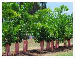 15m_plantation
