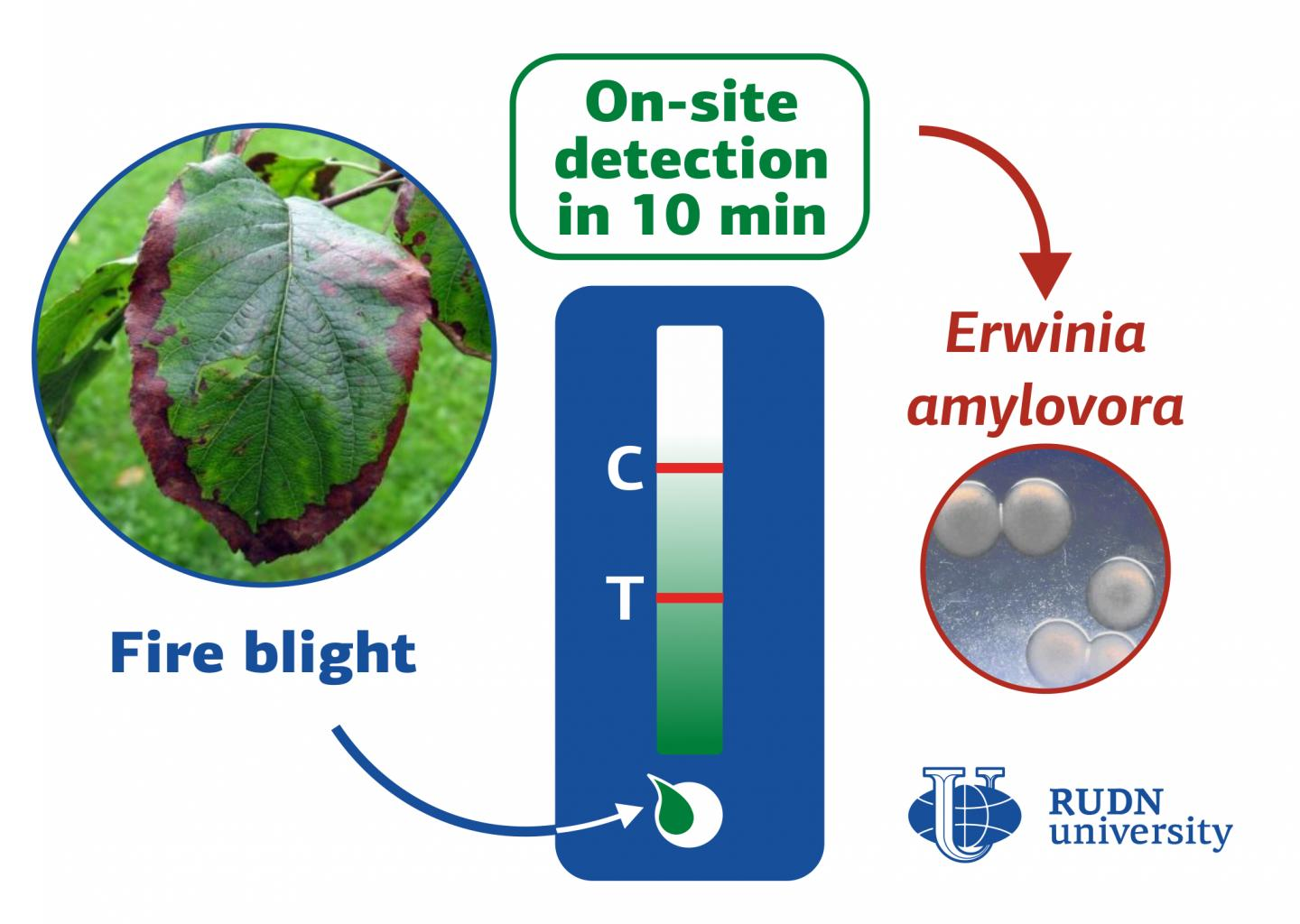 RUDN University biologists develop a rapid test for detecting the fire blight in plants