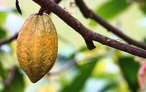 cosmétique bio et beurre de cacao