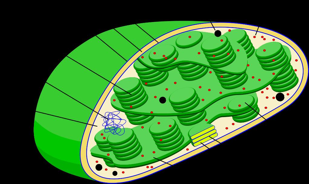 Photo of Fungsi Kloroplas dalam Sel Tumbuhan