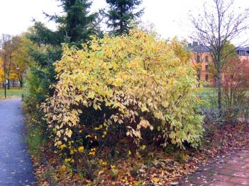 Cornus alba 'Elegantissima' höstfärger