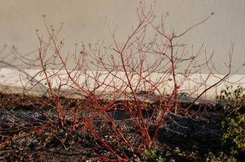 Cornus alba 'Ivory Halo', vinter