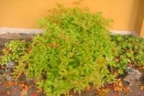 Treblandsspirea, Gillenia trifoliata, sensommar