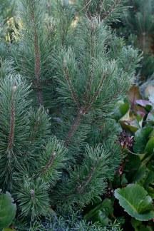 Balkanbergtall, Pinus mugo var. pumilo fk Sauherad