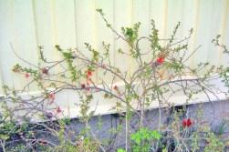 Stor rosenkvitten, Chaenomeles x superba 'Crimson and Gold' mot vägg