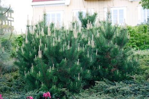 Bergtall, Pinus mugo 'Gnom