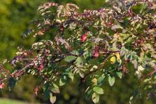 Pimpinellros, Rosa spinosissimagruppen 'Poppius', nypon