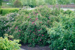 Pimpinellros, Rosa spinosissimagruppen 'Single Cherry'