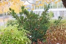 Japansk dvärgidegran, Taxus cuspidata 'Nana' höst