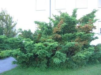 Japansk dvärgidegran, Taxus cuspidata var. nana