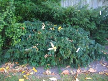 Krypidegran, Taxus baccata 'Repandens'