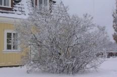 Vintersiluett av bondsyren, Syringa vulgaris