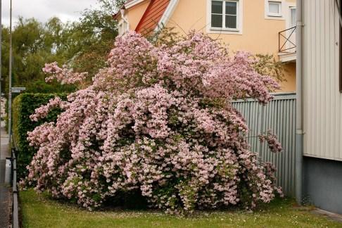 Paradisbuske, Linnaea amabilis
