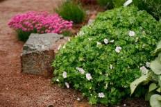 Jungfunäva, Geranium sanguineum var. striatum