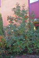 Pelarrönn, Sorbus aucuparia 'Fastigiata'