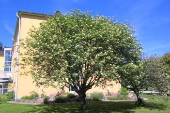 Sorbus aucuparia var xanthocarpa sommar