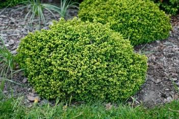 Dvärggran, Picea abies 'Little Gem'