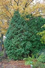 Pelartuja, Thuja occidentalis 'Columnea'