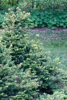 Pyramidgran, Picea abies 'Pygmaea'